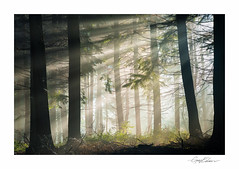 Forest Beams (George-Edwards) Tags: landscape wood woodland forest nature wildlife trees branches sunrise morning daybreak dawn sun light beams rays fog mist silhouette shadow countryside rural winter seasons berkshire england georgeedwards