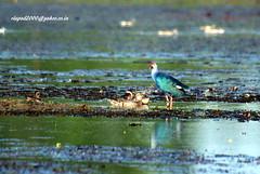 IMG_1740 Grey-headed Swamphen (Porphyrio poliocephalus) & Garganey (vlupadya) Tags: greatnature animal aves fauna indianbirds greyheaded swanphen porphyrio garganey anas malyadi karnataka