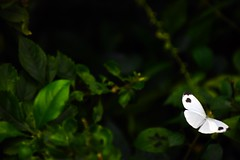 Butterfly (10) (phasan) Tags: butterfly pratyayhasan pratyay fullerroad dhakauniversity nature