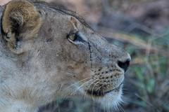 Lioness (Steve Segall (aka seagully)) Tags: southluangwa edwardselfephotography lioness lion cats africa zambia