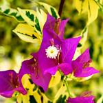 Bougainvillea in The  Ofuna Botanical Garden, Ofuna, Kamakura : ブーゲンビリア(神奈川県立フラワーセンター大船植物園) thumbnail