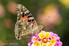 Butterflies in Cyprus 2018 (Holfo) Tags: cyprus butterfly insect wings eye antennae nikon d7500 macro