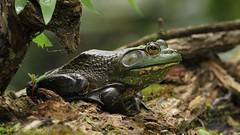 american bullfrog (don.white55 That's wild...) Tags: americanbullfroglithobatescatesbeianus thatswildnaturephotography donwhite canoneos70d tamronsp150600mmf563divcusda011 150600mm animal frog amphibian herpetology herp nature wildlife