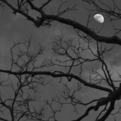 114/365 (local paparazzi (isthmusportrait.com)) Tags: 365project canon5dmarkii canon24105mmf4lisusm ef eos lopaps pod 2018 iso800 noise grain lowlight redskyrocketman localpaparazzi isthmusportrait canon 24105mm f4l is usm 105mm f8 detail cropping cropped crop moon lunar luna waxinggibbous black white blackandwhite blanco negro blancoynegro trees moonthroughthetrees