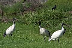 IMGP9748 Australian White Ibis (rjbrett2) Tags: australian white ibis nature wildlife smc pentax da 55300mm f458