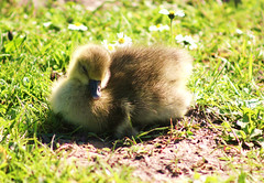 Baby Greylag (ekaterina alexander) Tags: baby greylag gosling anser goose spring waterbird bird ekaterina alexander wild nature photography pictures england sussex