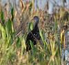 04-28-18-0015120 (Lake Worth) Tags: animal animals bird birds birdwatcher everglades southflorida feathers florida nature outdoor outdoors waterbirds wetlands wildlife wings