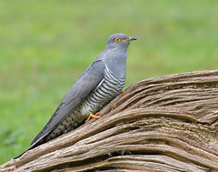 Cuckoo (male) (KHR Images) Tags: cuckoo cuculuscanorus mature male migrant wild bird perched surrey wildlife nature nikon d500 kevinrobson khrimages