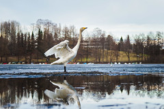 Swantastic Spring (@Tuomo) Tags: jyväskylä finland ice spring april swan bird reflection nordic nature urban olympus em1mk2 zuiko 12100mm4 m43 micro43