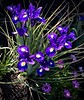 Cambria Iris (Pete Tillman) Tags: iris cambria