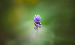 Hyacinth (Dhina A) Tags: sony a7rii ilce7rm2 a7r2 kaleinar mc 100mm f28 kaleinar100mmf28 5n m42 nikonf russian ussr soviet 6blades grape hyacinth