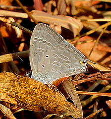 ecosystem/fauna/Forget-Me-Not(Catochrysops strabo) (biodiversity western ghats) Tags: butterflyindia diversityindia lycaenidae polyommatinae sahyadri