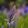 bud.......... (atsjebosma) Tags: bud knop flower bloem macro bokeh colourful kleurrijk garden tuin atsjebosma groningen thenetherlands nederland spring lente voorjaar april 2018 bluebells ngc npc