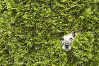 Hedgetroll