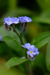 Myosotis (jpto_55) Tags: fleur myosotis bleu bokeh xe1 fuji fujifilm hautegaronne france fujixf55200mmf3548rlmois ngc