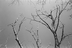 bare and gnarly (.grux.) Tags: minoltaalf rangefinder film kodaktrix tree branches bare up sky expiredfilm testroll toronto