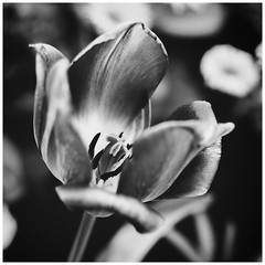 Bloomblossom (Thomas Listl) Tags: thomaslistl blackandwhite biancoenegro noiretblanc flower square spring beautiful blossom bloom contrasts fade leaves plant nature grey 50mm dedication