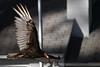 IMG_4898A Turkey Vulture (cmsheehyjr) Tags: cmsheehy colemansheehy nature wildlife bird vulture turkeyvulture rappahannock virginia cathartesaura