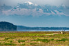 Boundary Bay with Mt Baker Backdrop (RussellK2013) Tags: nikon nikkor ngc nature nationalgeographic boundarybay mountain mountbaker washingtonstate scene sea scenery scenicsnotjustlandscapes scape seascape shore shoreline vista view lush 300mmf4epfedvr 300mm d500 outdoor seaside water coast coastline delta boundarybaywildlifemanagementarea