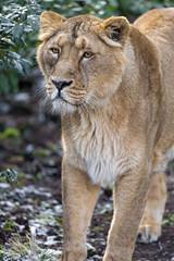 Jeevana quite close (Tambako the Jaguar) Tags: lion big wild cat asiatic asian indian female lioness portrait beautiful standing posing face zürich zoo switzerland nikon d5