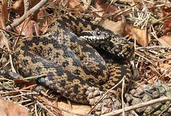 Adder (Roger H3) Tags: animal reptile snake viper adder