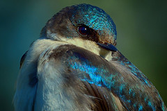 Tree Swallow (Astral Will) Tags: bird swallow treeswallow close eye endearing relaxed friend