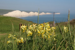 Cowslip view of Seven Sisters (timothyhart) Tags: seaford head southcoast englishchannel sevensisters coastalwalk sunny spring 2018 england uk sea hot walking outdoors cowslip