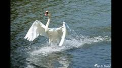 Amerrissage du Cygne (jean-daniel david) Tags: diaporama nature réservenaturelle cygne eau lac lacdeneuchâtel yverdonlesbains amerrissage oiseau oiseaudeau animal reflet vidéo
