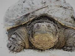 Muddy Turtle (Anton Shomali - Thank you for over 1 million views) Tags: wild nature wildanimal mud rocks sans dirt muddy turtle wildlife panasonic dmcfz70