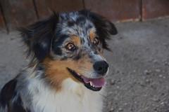 Sarafina (VreSko) Tags: dog dogs hund hunde perro perros obersteinabrunn rrranch austria österreich niederösterreich lower sarafina mogli aussies australian shepherd