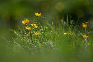 low level Buttercup bokeh