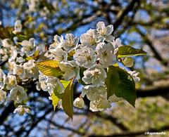 Frühling (garzer06) Tags: deutschland silmenitz weis mecklenburgvorpommern inselrügen naturephoto naturephotography insel naturfoto rügen naturfotografie