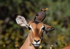 Common Myna  (Acridotheres tristis) & Impala (Ian N. White) Tags: commonmyna acridotherestristis gaborone botswana impala aepycerosmelampus