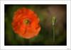 ¡Cuántas veces perdemos el presente por mirar al pasado! (V- strom) Tags: poppy amapola concepto concept red rojo verde green petals pétalos viñeta nikon nikon105mm nikond700 primavera spring flor flower floración flowering planta naturaleza nature macros macrophotography macrofotografía macro vstrom