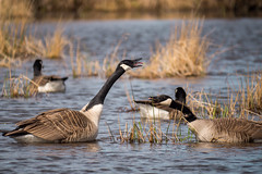 canada geese honking at each other (claudiaulrikegoodall) Tags:
