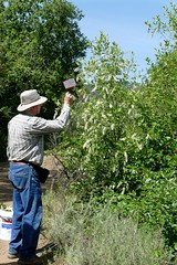 Carl placing an identification tag on Prunus virginiana var. demissa, WESTERN CHOKE CHERRY (openspacer) Tags: carl chokecherry jasperridgebiologicalpreserve jrbp people prunus rosaceae shrub sign