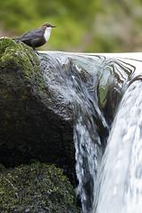 CINCLUS (Carlos Cifuentes) Tags: mirloacuático merlorieiro cincluscinclus dipper wildlife nature wildlifenature carloscifuentes bird birds