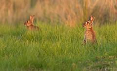 Mais attends, j'te dis que j'ai entendu quelque chose!! (CycyM) Tags: lapin de garenne hérault nature champ herbe lumière mammifère dressé aguets oreilles