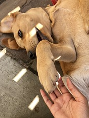 Simba #labrador #puppy #playtime #happy #sun #dry #sky #blue #weather (X4DYA) Tags: labrador puppy playtime happy sun dry sky blue weather