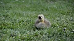 Sleepy head (moniquerebanks) Tags: gosling baby goose gans nature closeup park london fluffy young gansekuken younggoose kuikentje natuur natura cute nikond7100