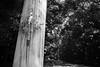 20180421 Nagoya 1 (BONGURI) Tags: 名古屋市 愛知県 日本 jp bw monochrome 白黒 モノクロ モノクローム torii 鳥居 sakaki 榊 light sunlight 木漏れ日 shintoshrine shrine atsutajingushrine atsutajingu atsutasan 熱田神宮 熱田さん 神宮 神社 神道 atsutaward atsuta 熱田 熱田区 nagoya 名古屋 aichi 愛知 nikon df afsnikkor28mmf18g