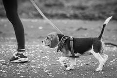 Beagle being walked