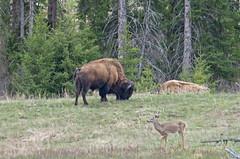 Peach and harmony (Joe Wicks) Tags: bison buffalo yellowstone wyoming montana baby calves animals wildlife nature 2018 mountains park water sky spring