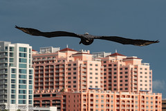 Head Homeward , Pelican (Thomas Gremaud) Tags: pinellascounty blue building flight justaposition pink bird brownpelican sky compressionofspace clearwaterbeach perspective florida