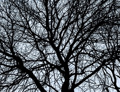 Binomial Tree (World-viewer) Tags: binomial iphone6 plus iphone finance philosophical arboreal branches tree minimal artistic bw monochrome art
