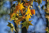 52 in 2018 Challenge - #5 - Fall (Season) (crafty1tutu (Ann)) Tags: challenge 52in2018challenge 5fallseason leaves autumn autumncolour crafty1tutu canon1dx ef100400mmf4556lisiiusm anncameron tree deciduous naturethroughthelens naturescarousel coth