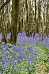 Path through the Blue. (pstone646) Tags: bluebells woodland nature trees blue green flora kent path flowers blooms