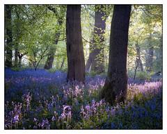 Bluebell Wood (shaunyoung365) Tags: landscape bluebells sunrise filmphotography mamiyarz67 ektar100