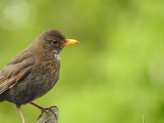 Blackbird (Simply Sharon !) Tags: blackbird bird britishwildlife wildlife nature inthegarden gardenvisitor gardenbird may