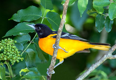 Baltimore Oriole (Ed Sivon) Tags: america canon nature wildlife wild western southwest color flickr texas galveston bird yellow